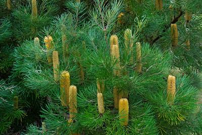 Banksia - Hill - (Banksia Collina) - (Australia) - Kula Botanical Garden - Maui, HI