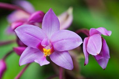 Orchid - Philippine - Kauai, HI
