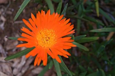Ice Plant - (Akulikuli) - (Mesembryanthemum Speciosa) - (South Africa) - Kula Botanical Garden - Maui, HI