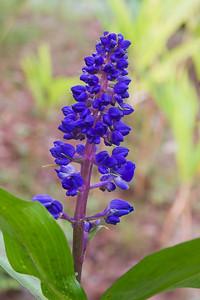 Ginger - Blue - (Dichorisandra Thyrsiforma) - (Brazil) - Kula Botanical Garden - Maui, HI