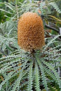 Banksia - Rickrack - (Banksia Speciosa) - (Australia) - Kula Botanical Garden - Maui, HI