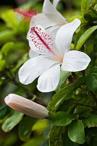 Hibiscus - white - Kokee State Park - Kauai, HI