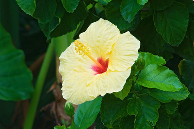 Hibiscus - yellow - Waipouli Beach Resort - Kauai, HI