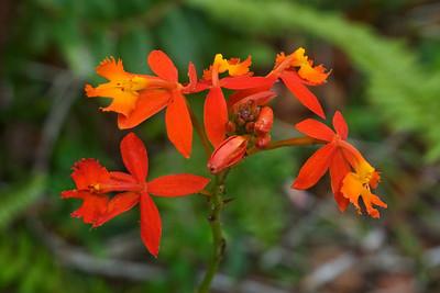 Ohi'A - Lehua - (Metrosideros Collina) - (Hawaii) - Kula Botanical Garden - Maui, HI