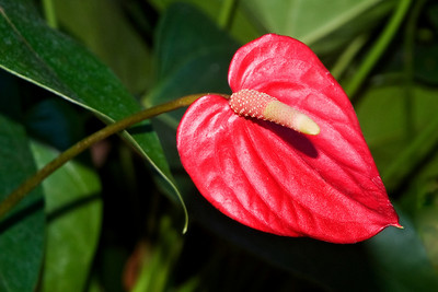 Anthurium - Mama's Fish House - Paia - Maui, HI