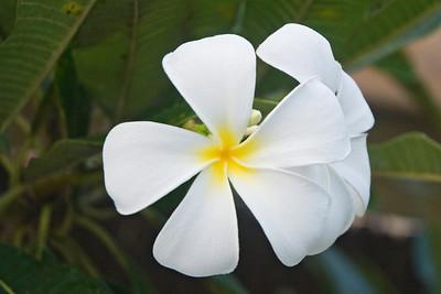 Plumeria - Kapiolani Shores - Maui, HI
