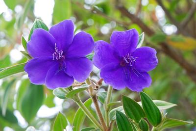 Glory Bush - Kula Botanical Garden - Maui, HI