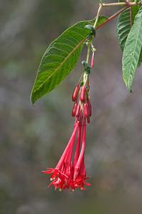 Orange Trumpet - Kokee State Park - Kauai, HI