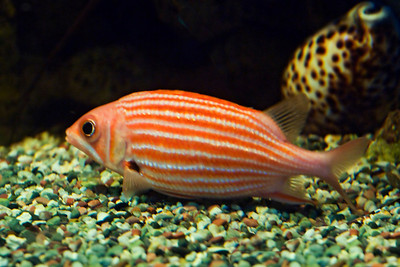 Squirrelfish - Yellow Striped - Maui Ocean Center - Maui, HI
