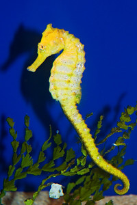 Sea Horse - Maui Ocean Center - Maui, HI