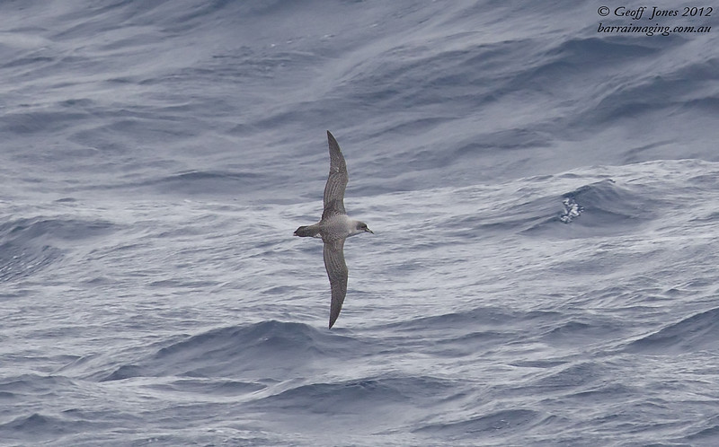 SIO-GRPE-01 Grey Petrel ( Procellaria cinerea ) Southern Indian Ocean Nov 2012