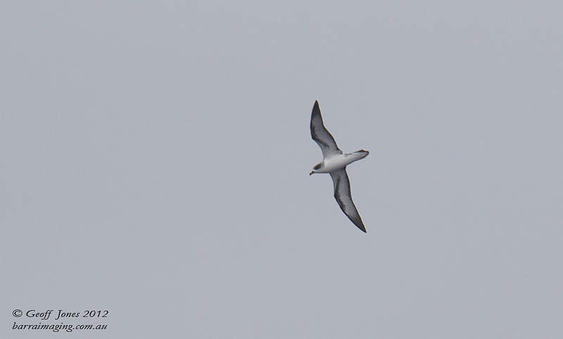 SIO-BAPE-06 Barau's Petrel ( Pterodroma baraui ) Southern Indian Ocean Nov 2012