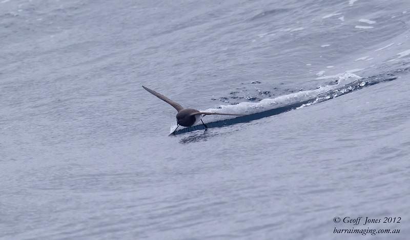 SIO-BBSP-01 Black-bellied Storm Petrel ( Fregetta tropica ) Southern Idian Ocean Nov 2012