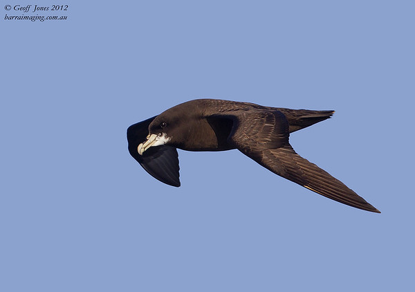 SIO-WCPE-03 White-chinned Petrel ( Procellaria aequinoctialis ) Southern Indian Ocean Nov 2012