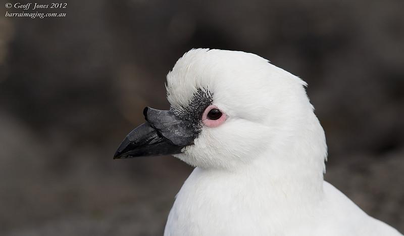 AU-BFSB-02 Black-faced Sheathbill ( Chionis minor ) Heard Island Aus Nov 2012