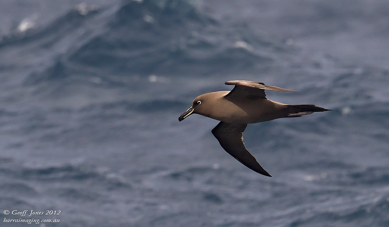 SIO-SOAL-01 Sooty Albatross ( Phoebetria fusca ) Southern Indian Ocean Nov 2012
