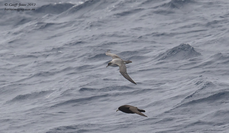 SIO-GRPE-02 Grey Petrel ( Procellaria cinerea ) Southern Indian Ocean Nov 2012