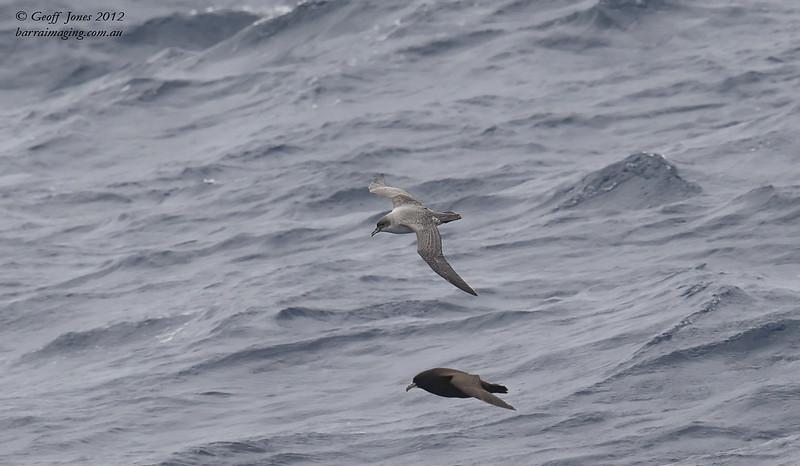 SIO-GRPE-02 Grey Petrel ( Procellaria cinerea ) Southern Indian Ocean Nov 2012
