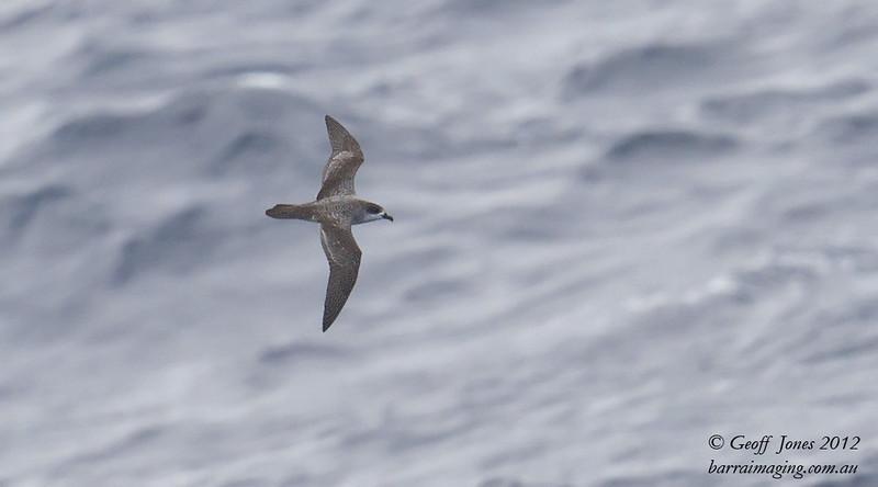 SIO-BAPE-03 Barau's Petrel ( Pterodroma baraui ) Southern Indian Ocean Nov 2012