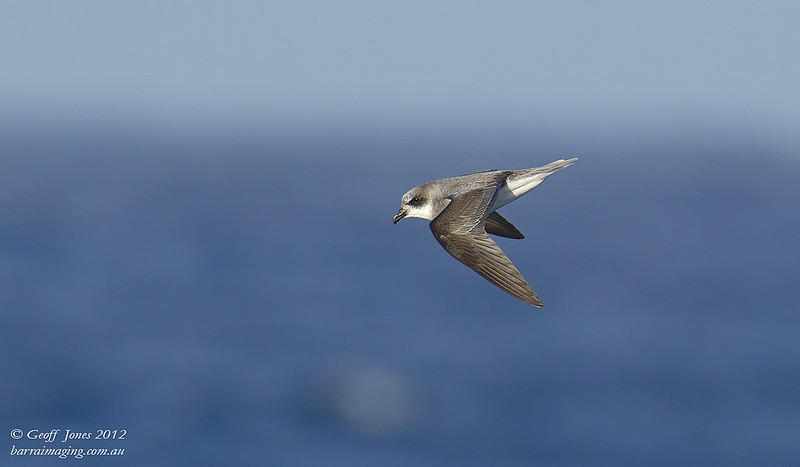 SIO-SPPE-10 Soft-plumaged Petrel ( Pterodroma mollis ) Southern Indian Ocean Nov 2012