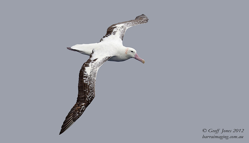 SIO-WAAL-02 Wandering Albatross ( Diomedea exulans ) Southern Indian Ocean Nov 2012