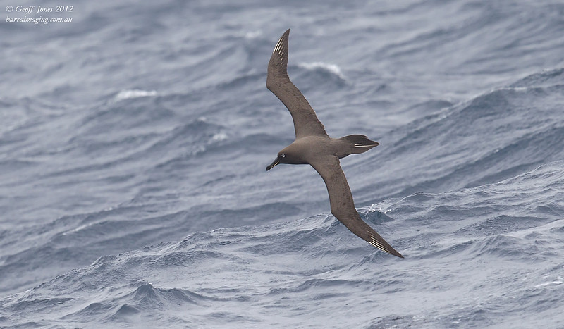 SIO-SOAL-02 Sooty Albatross ( Phoebetria fusca ) Southern Indian Ocean Nov 2012