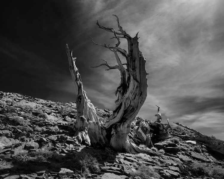 Dichotomy, Bristlecone Tree