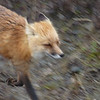 Mrs. Red Fox galumphs down the park road.