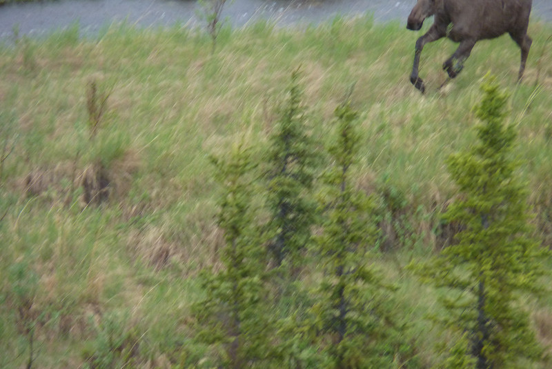 Something, real or imaginary, spooks the skittish moose, and he gallops swiftly toward a more sheltered spot.  He's too fast for Jeane's camera to keep up with!