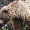 The all-day rain has made for a sloppy wet bear.  Mrs. Grizzly has to smell her food before chomping it.