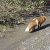 We see Mrs. Fox on our way out again, but not in time for us to get our camera ready.  She was movin' on out!