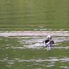 Patti scores a life bird with this Long-tailed Duck.  Jeane has been scoring life birds with such frequency that no special mention is needed...