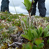 Patti spends a lot of time slithering on her belly like a reptile to photograph tiny tundra plants like this Arctic Willow.  Her fellow hikers look like giants in the background.