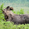 Bull moose, looking a little scraggly as he sheds his winter coat.