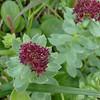 Rosewort (Sedum rosea)