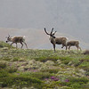 The photographers on our bus scramble for good viewing spots as the caribou strike a majestic pose.