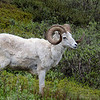 The bus traffic grinds to a halt as each bus stops to admire the Dall Sheep surprisingly close to the park road.
