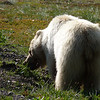 And we enjoy a very blonde grizzly bear munching on some plants.