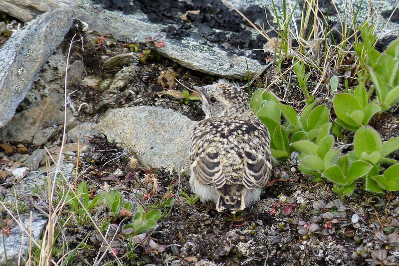 Horned Lark chick