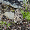 Horned Lark chick