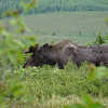 On our drive back to Camp Denali we stop for a bull moose chomping on willows.