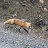 Red Fox with her pretty black paws and white-tipped tail.