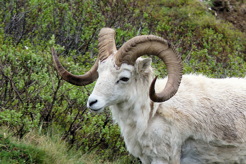 You can determine the age of a Dall Sheep by counting the growth segments on his horns.
