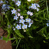 Alpine Forget-me-not  (Myosotis alpestris) - planted in the garden at the lodge.