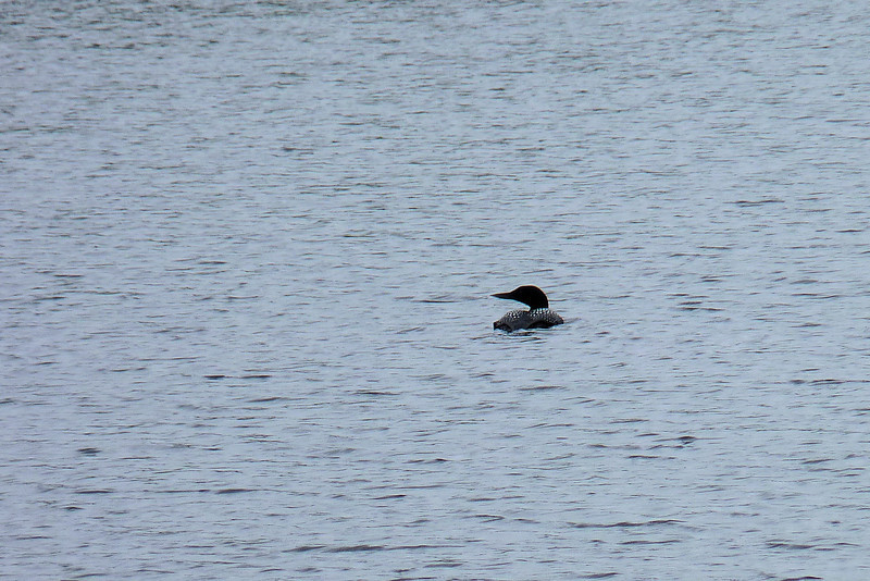 Today's adventure is a birding foray with Scott Weidensaul.  First stop:  Common Loon in Mirror Lake.