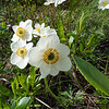 Narcissus-flowered Anemone (Anemone narcissiflora)