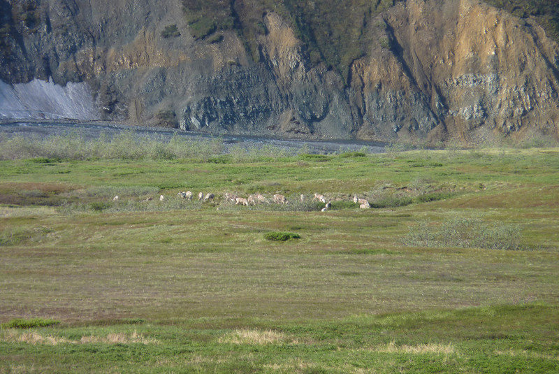 We spy a large herd of Caribou.