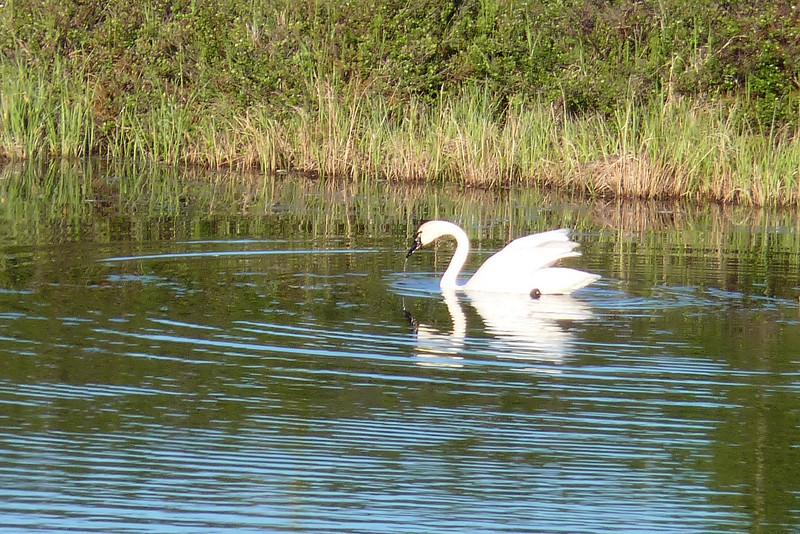 Tundra Swan on a tundra pond -- very appropriate