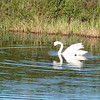 Tundra Swan on a tundra pond -- very appropriate