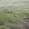 We're lucky enough to stumble upon a small herd of caribou.